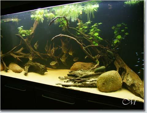 Biotopo pterophyllum altum livia giovannoli for Fondo per acquario