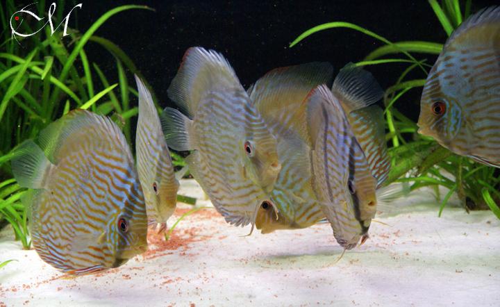 Symphysodon discus heckel
